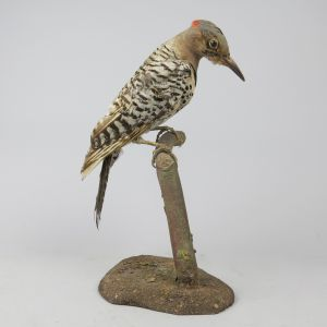 Flicker bird