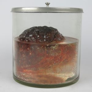 Pickled Human brain (replica)