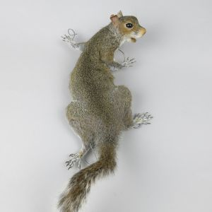 Grey Squirrel 7