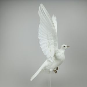 Dove in flight 1