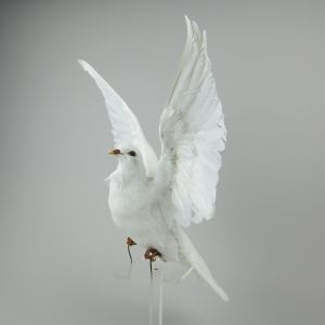 Dove in flight 3