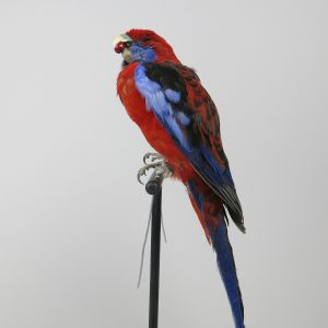 Pennants Crimson Rosella 2