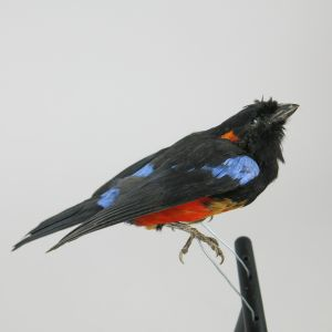 Red bellied mountain tanager