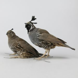 Pair of Quail