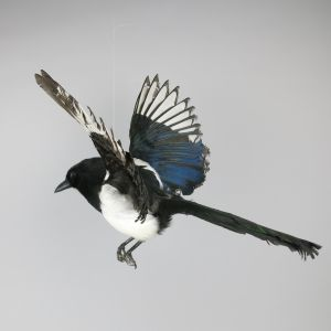 Magpie in flight 4