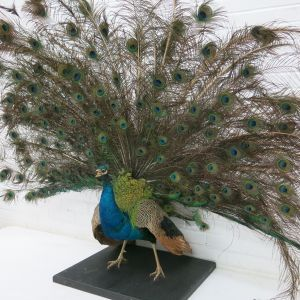 Blue Peacock, displaying 2