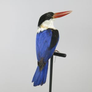 Black headed Kingfisher