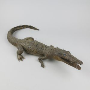 Small crocodile 1