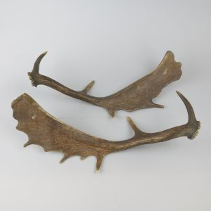 Shed antlers 3