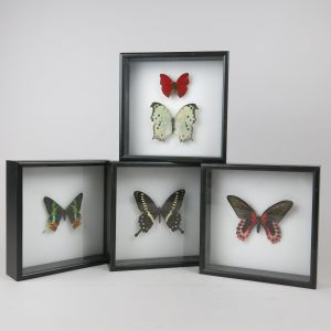 Framed butterflies, black frames