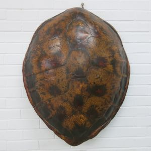 Large Turtle carapace