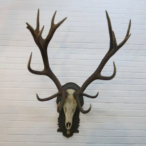 Stag Antlers (F)