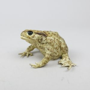 Common Toad 7