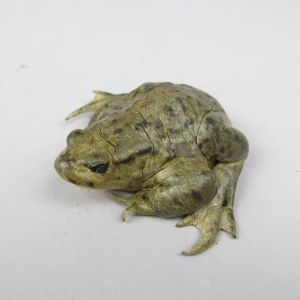 Common Toad 8