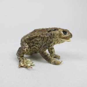 Common Toad 9