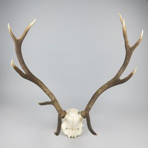 Antlers (no.15)