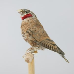 Cut-throat finch 1
