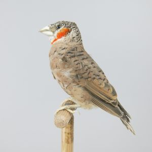 Cut-throat finch 2