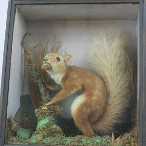 Cased red Squirrel