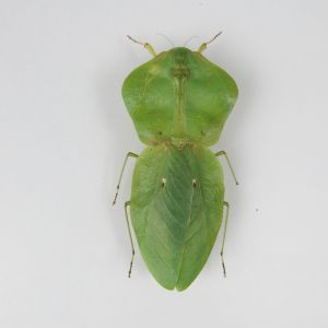Leaf Insect 3 (smaller variant)