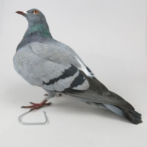 Feral Pigeon 1