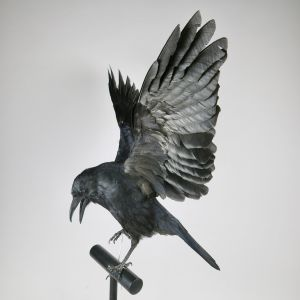 Crow in flight 3
