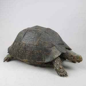 Antique Tortoise 1