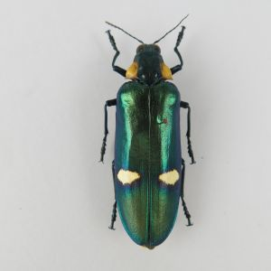 Megaloxantha bicolor (closed wings)