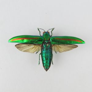 Chrysochroa fulminans (open wings)