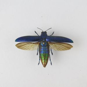 Chrysochroa fulminans / blue (open wings)