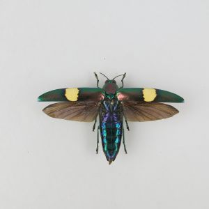 Chrysochroa saundersii (open wings)