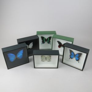 Cased butterflies x 6