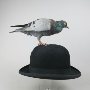Feral pigeon 2 (on bowler hat)
