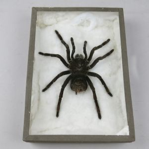 Spider (cased Tarantula)