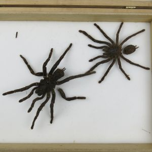 Spider (Tarantulas / damaged)
