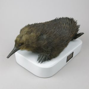 Echidna, mounted on base